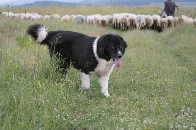 Bulgarian Shepherd Dog walking away from the group of sheep and the herder with its mouth open and tongue out