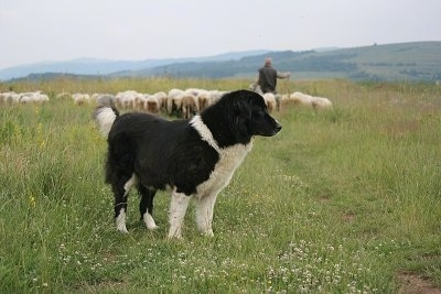 Bulgarian Shepherd Dog standing in a field with a shepherd herding a large flock of sheep in the background