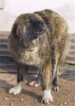 Bulgarian Shepherd Dog standing in dirt in front of a building and barking at something in the distance