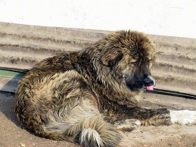 Bulgarian Shepherd Dog laying in front of a building with its tongue out