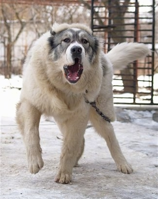 Bulgarian Shepherd Dog Breed Pictures, 2