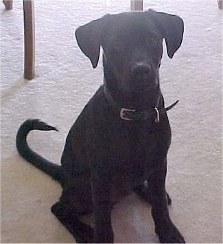 Bruiser, the Bullmasador (Black Lab/Bullmastiff mix) at 4 months old