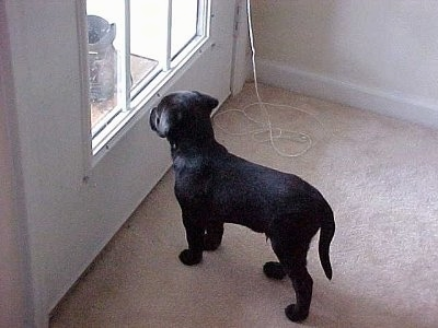 Bruiser the Bullmasador puppy standing on a carpet looking out of a window
