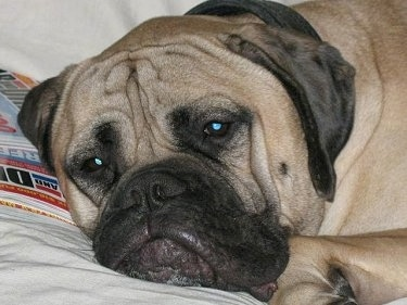 Close Up - Shirley the Bullmastiff laying down on a bed next to 'Car and Driver' Magazine