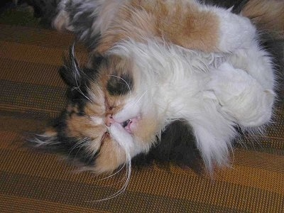Lola the Persian cat is sleeping on a couch on its side with its mouth open