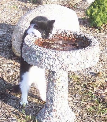 Sylvester the cat is jumped up at and hanging off of a bird bath and drinking the water out of it. There is a huge rock a few feet behind him