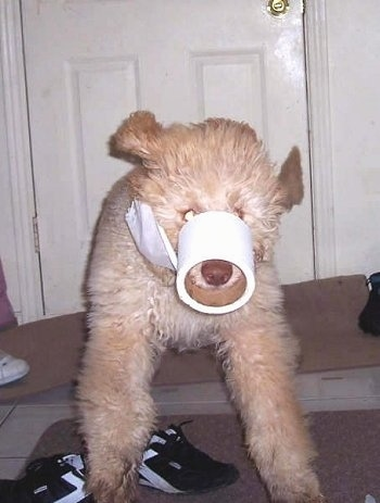 Homer the Labradoodle puppy is jumping over shoes with a toilet paper roll on its snout