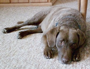 Ginger the Chesapeake Bay Retriever is laying next to a table