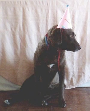 Ginger the Chesapeake Bay Retriever is sitting on a surface in front of a tan blanket wearing a birthday hat