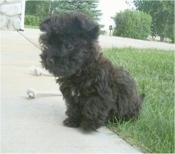 Madison the Cairnoodle as a puppy is sitting outside with her back end in grass and her front paws on a sidewalk and looking to the left