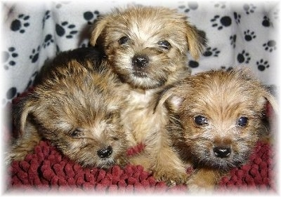 Close Up - Three Carkie puppies laying on top of each other on a red rug blanket with a white blanket with black paw prints on it in the background