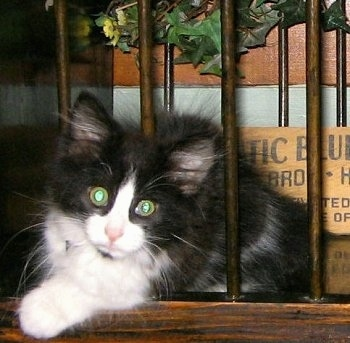 FooFoo the mini black and white cat is sitting in between the bars of a cradle