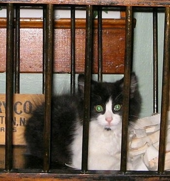 FooFoo the mini black and white cat is looking between the bars of a cradle