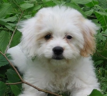 Abby, the Cavachon (Cavalier / Bichon hybrid) at 12 weeks old