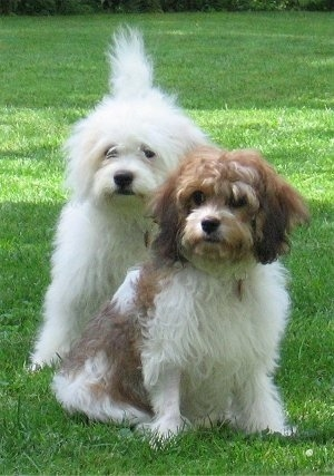 Abby(back) and Emma(front) the Cavachons are standing and sitting on a lawn