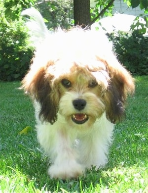 Emma the Cavachon as a puppy walking towards the Camera holder with her mouth open out in the grass with a tree behind her
