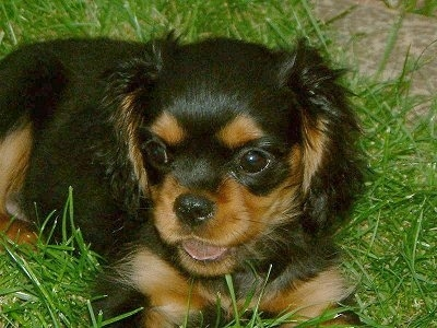 Close Up - Buddy the Cavalier King Charles Spaniel puppy is laying outside in grass with a smile on its face