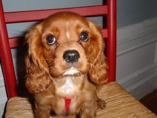 Close Up - Lucky the Cavalier King Charles Spaniel Puppy is sitting in a chair