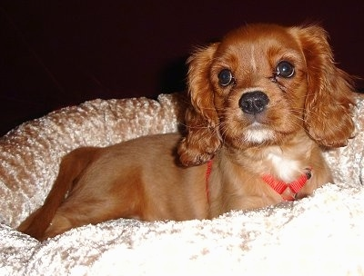 Lucky the ruby Cavalier King Charles Spaniel puppy at 10 weeks old