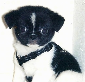 Close Up - Cole the black and white Cheeks puppy is sitting against a white wall wearing a black harness