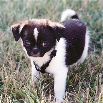 Cole the black and white Cheeks puppy is standing outside in grass