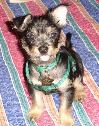 Close up front view - A black with tan Cheeks puppy is sitting on a bed and it is looking up and its tongue is sticking out. One of its ears is up and the other is flopped over. It is wearing a small green harness.
