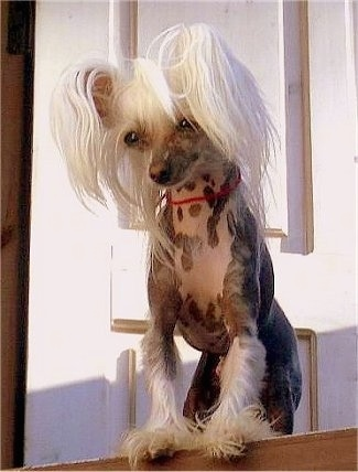 Faiter Samuraj the Chinese Crested hairless dog standing at the top of a staircase and looking down the steps