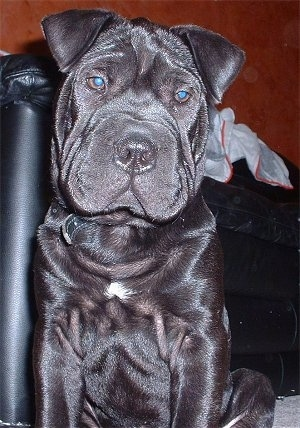 Close up front view - A wrinkly black Chinese Shar-Pei puppy is sitting on a carpet, it is looking down and its head is slightly tilted to the right. There is a couch behind it. The dog has a big head with a lot of extra skin all over its body.