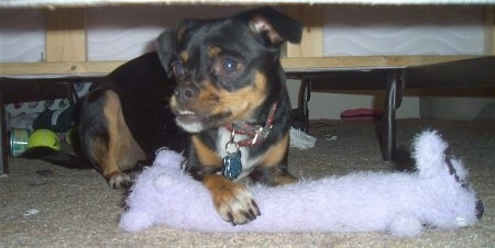Bruiser Doo the Chin-wa is laying under a bed and has his paw over a long white fluffy plush toy. There is a tennis ball and some other items under the bed.