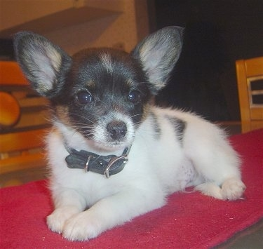 Romeo, the Chion (Chihuahua / Papillon Hybrid) at 9 weeks old