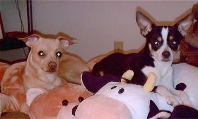 Chipin Brothers Mello and BB at 2 years of age (Chihuahua / Min Pin hybrids)