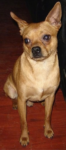 Bruno, the Chipin (nick name Cheekie) at about 2 years old weighing 16 pounds. He is 50% Chihuahua & 50% Min Pin