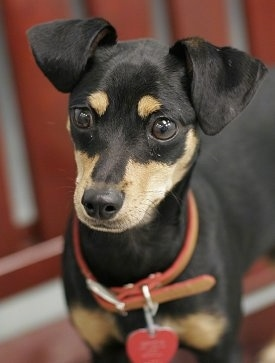 Close Up - Snoop the black and tan Chipin is wearing a red and brown leather collar standing on a wooden bench