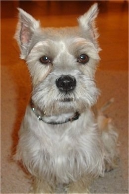Close Up - Luigi the gray Chonzer is sitting on a carpeted floor and looking forward. He looks like a Schnauzer dog.