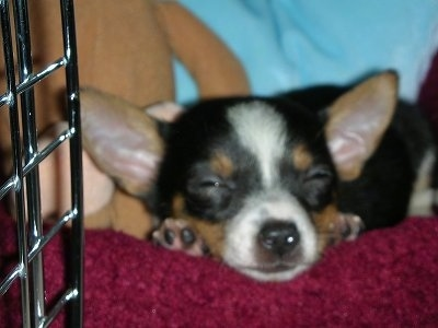 Samson the tri-color Chorkie puppy is sleeping on a red dog bed inside of a crate