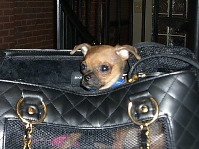 Monster the Chug puppy is sitting inside of a black leather handbag.