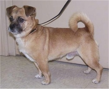 Chug Dog Breed Information And Pictures