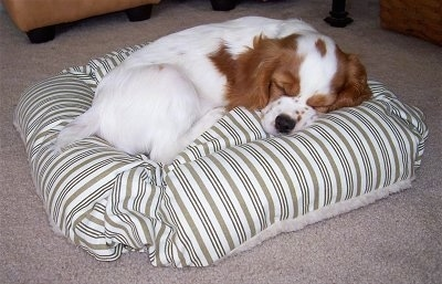 Cooper the white with reddish brown Cockalier puppy is sleeping on a striped pillow