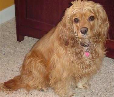 Scarlet the tan longhaired Cockalier is sitting on a carpeted floor in front of a cabinet