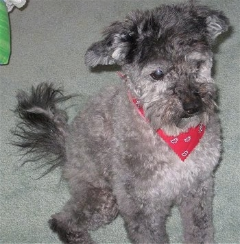 Phantom the gray Cockapoo is wearing a red bandana and looking forward. His hair is groomed short.