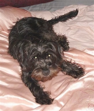 A wavy coated black Schnocker dog is laying on a person's bed that is covered in a shiny peach blanket.