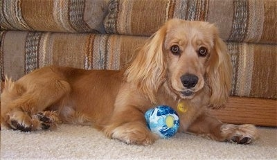 A Golden Cocker Retriever is laying in front of a tan striped couch with a blue ball against the front of its body. Its snout and ears are long.