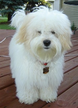 Sultan the white Coton De Tulear is standing on a red wooden deck. Both of Sultans eyes are covered by hair
