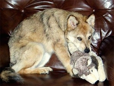 Kaweah the Coydog puppy is sitting on a brown leather couch and he has a plush toy in his mouth