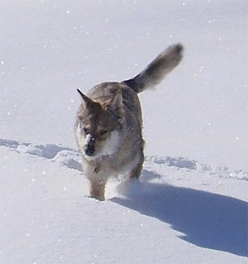 Kaweah the Coydog is running around in deep snow
