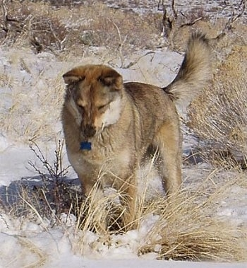 Kaweah the Coydog is standing in snow and looking down at some of the brush