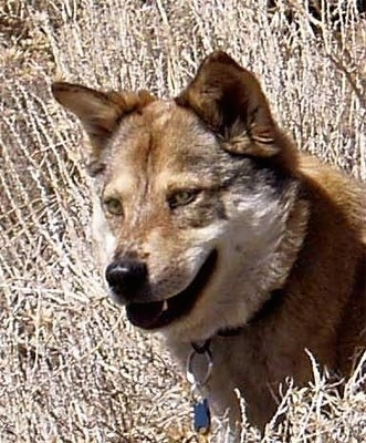Close Up head shot - Kaweah the Coydog is looking in between a brown bush