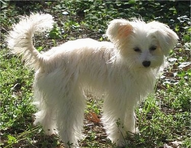 Right Profile - A long coated, white Crestepoo puppy is standing in grass looking to the right of its body.