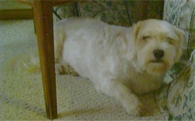 Sasha the white Daisy Dog is laying under a table next to a bed