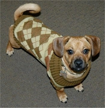 pug and weiner dog mix daug dog breed information and pictures 7571